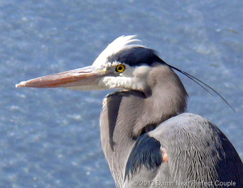 Port Townsend Blue Heron Closeup 2