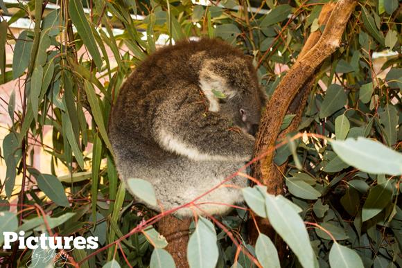 sleepy-koala-caversham-wildlife-park-picture-by-jacky