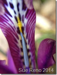 Dwarf bulbous iris, photo by Sue Reno