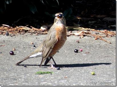 Robin w berrie