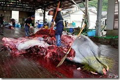 japon-chasse-baleine2