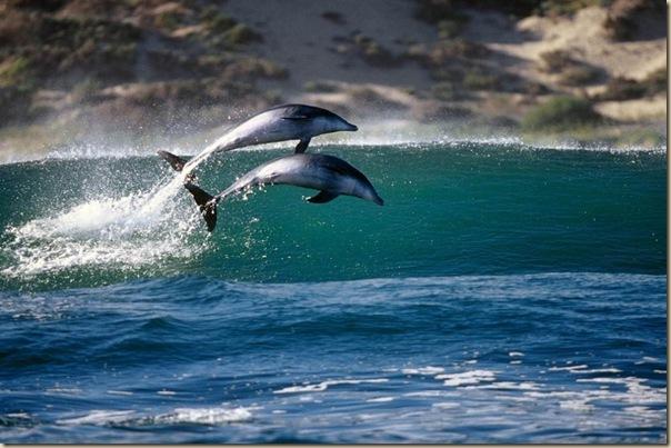 Danse avec les dauphins (7)