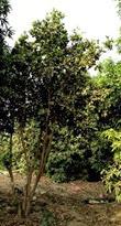 شجرة الجامبو
