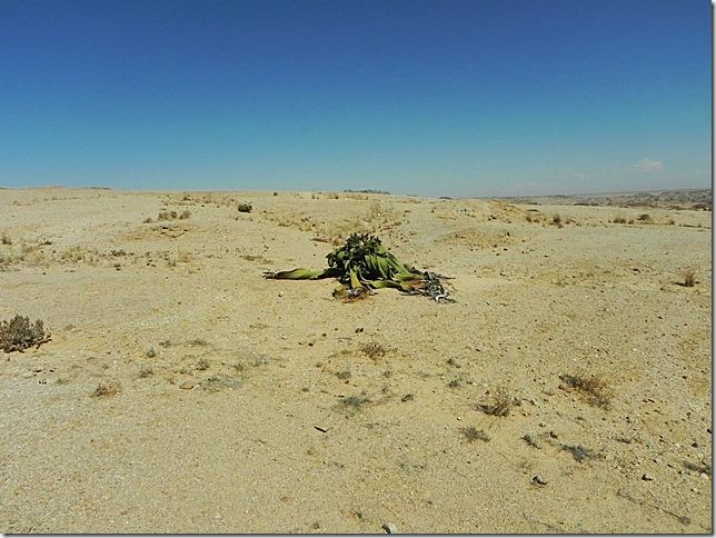 Welwitschia_DSCN6442