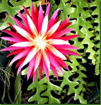 Zigzag cactus