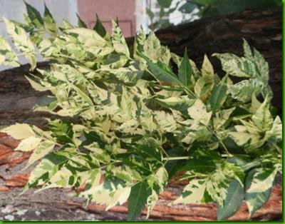 Melia azedarach  v aurea (5)