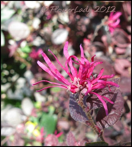 03-20-purple-leaves-pink-flowers