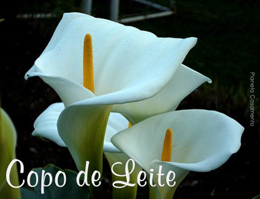 COPO DE LEITE - PLANETA CASAMENTO