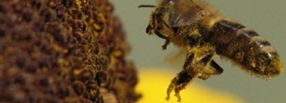 coc-noticias-abejas-estarian-muriendo-por-causa-del-uso-de-telefonos-moviles
