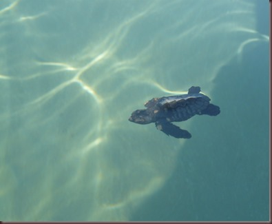 Amazing Pictures of Animals Caretta Caretta  Loggerhead sea turtle.Alex (10)