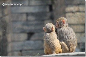 Macacos em Pashupatinah