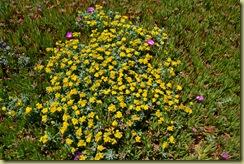 Bodega Head Flowers-5
