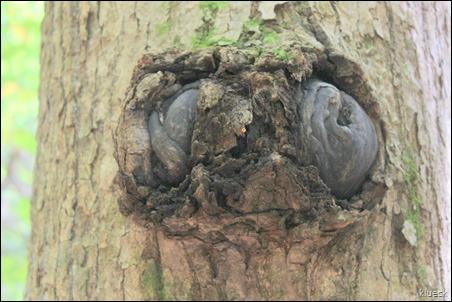 tree knob