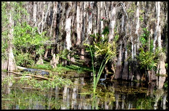 16c - Cypress Swamp and animals