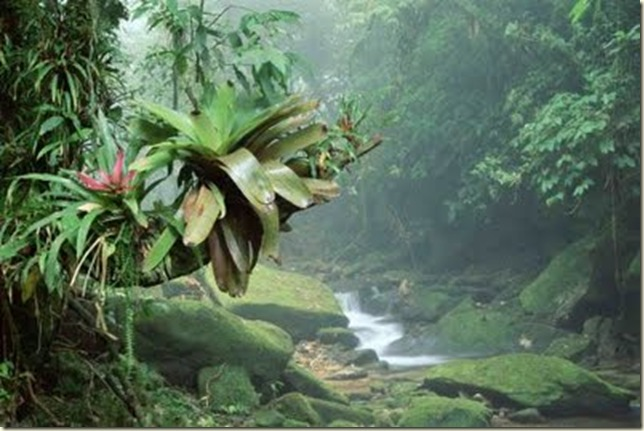 BromeliadsP_Bocaina_National_ParkM_Atlantic_RainforestW_Brazil