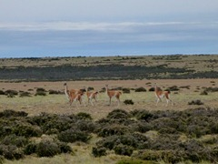 Guanacos in the pampa.
