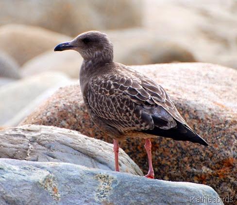 2. juv herring gull-kab