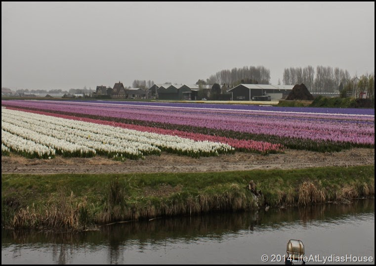 holland flower fields 3