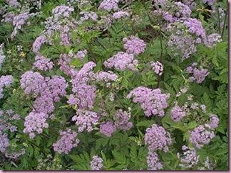 chaerophyllum%20hirsutum%20'roseum'