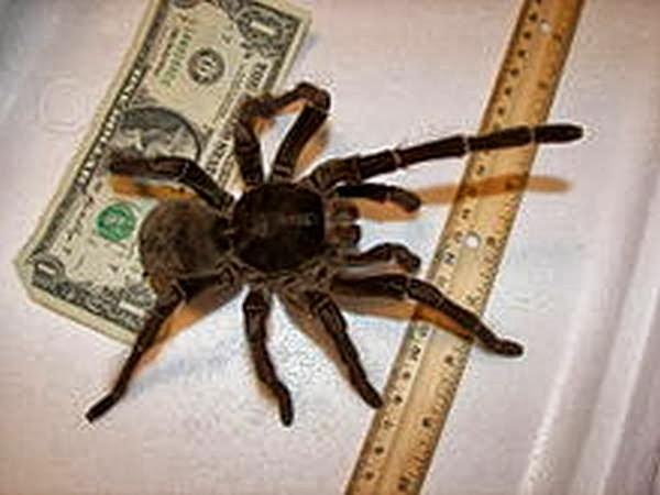 4- A  Aranha Golias comedora de pássaros, também conhecida como aranha-golias ou tarântula-golias, é considerada o maior aracnídeo do mundo, em massa corporal. Endêmica do norte