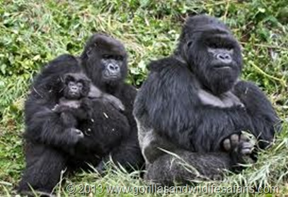 Which is the toughest mountain gorilla group to track in Rwanda, which gorilla group is the most popular to track, easiest gorilla family to track, how many hours does the gorilla tracking take in Rwanda? Susa, Kwitonda, Sabinyo, Umahoro?