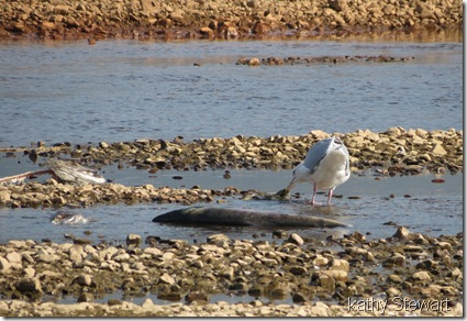 Glaucous-wing Gull eating Salmon