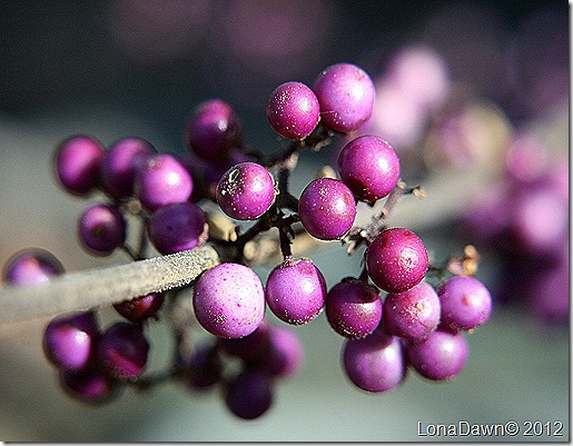 BeautyBerry_2012
