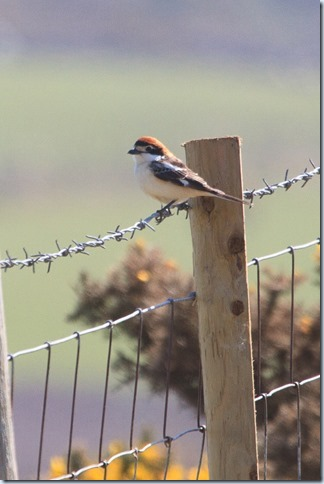 Aberdaron_Woodchat-1