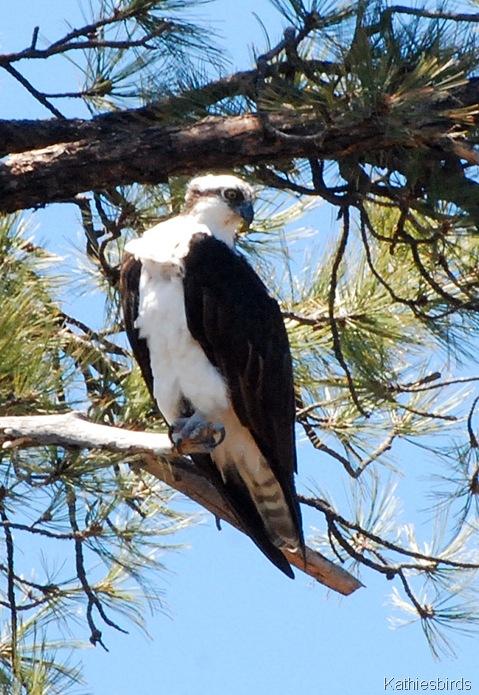 21. osprey-kab
