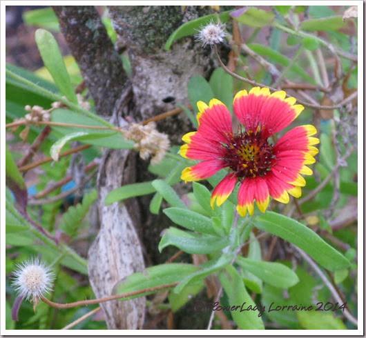 01-29-blanket-flower