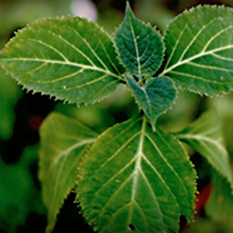 La salvia è una delle piante aromatiche più utilizzata in cucina.