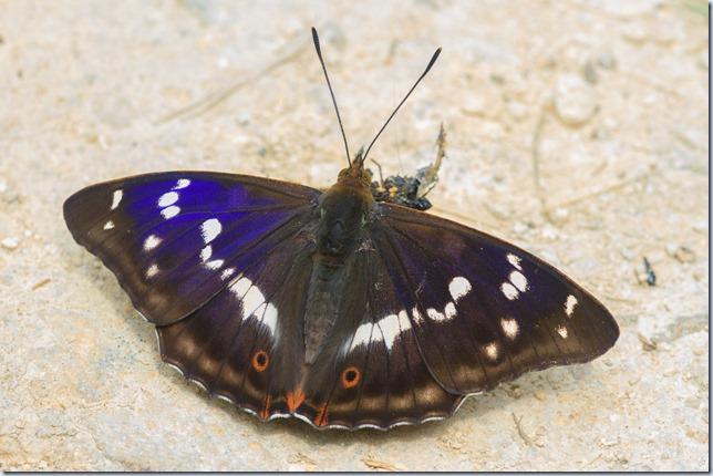Purple_Emperor-3