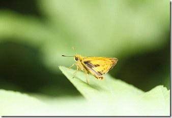 埔里紅弄蝶