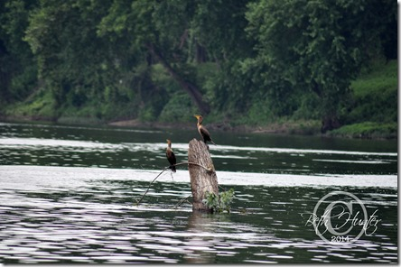 cr-cormorants-4438-