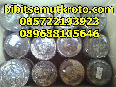 Budidaya ternak semut kroto rangrang bandung surabaya yogya jakarta