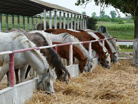 Herghelia Mangalia:  Hrana cabalinelor