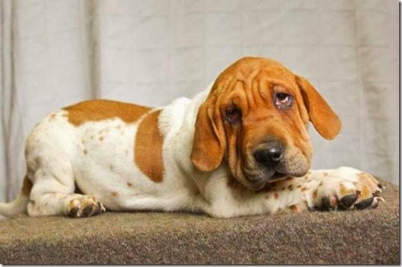 strange-dog-cross-breeds-021