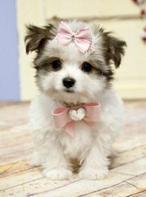 cachorro laço rosa 2