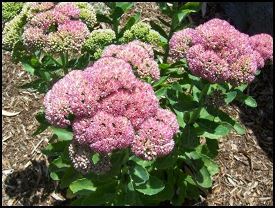 sedum - autumn joy2_thumb[2]
