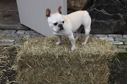 I love a good hay bale, don't you Franny?  Not only does the shape make them easy to store and transport, but it makes for a great pedestal for me as well!