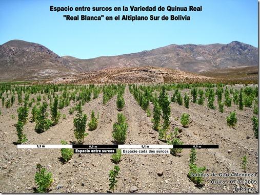 Espacio_entre_surcos_ Quinua_Real_Blanca_en_el_Altiplano_Sur-D.Ramos-Laquinua.blogspot.com