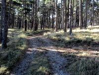 Kratek odsek poti skozi borov gozd