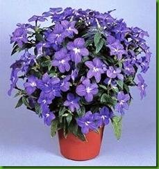 Browallia grandiflora