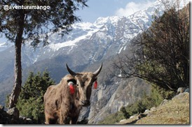 Dzo Himalaia