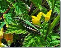 common green grasshopper Anglesey june 2014