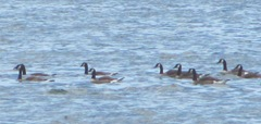 cape cod 6.12 geese swimming at beach
