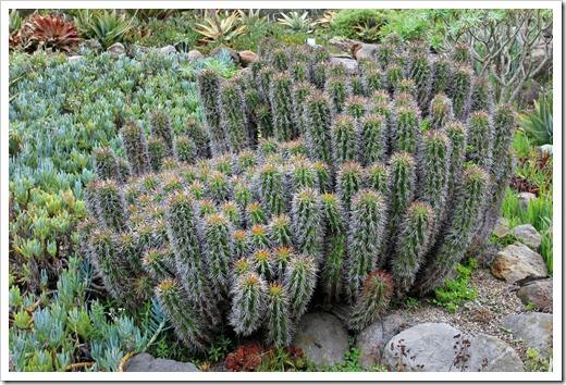 121228_UCBotGarden_Euphorbia-horrida_01