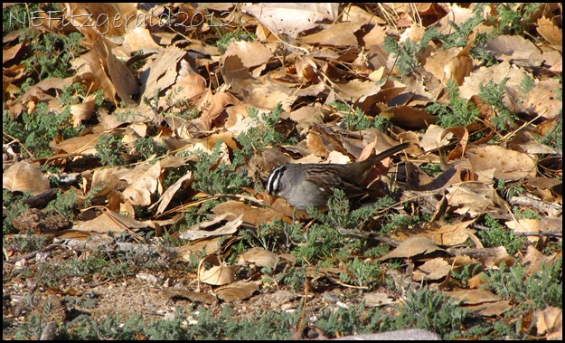 IMG_0784White CrownedSparrow