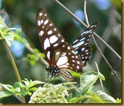 butterfly in Zanzibar 1