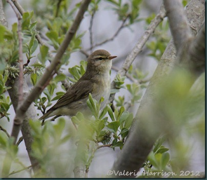 34-willow-warbler